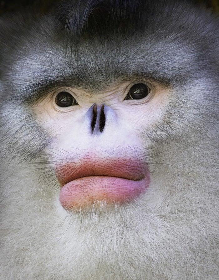 Yunnan Snub-Nosed MonkeyStatus: Endangered Habitat: Southwestern China