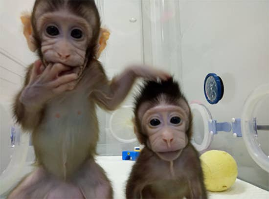 Primates had never been cloned before.