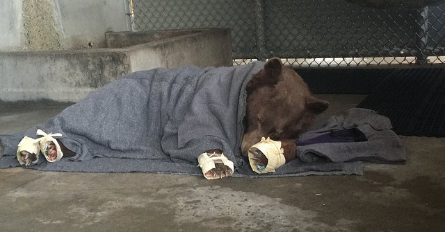 These Bears Burned In Wildfires Were Healed With Fish Skin And The Photos Will Melt Your Heart