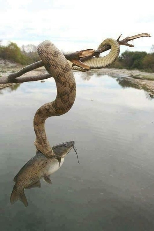 This freaking SNAKE caught a nice dinner: