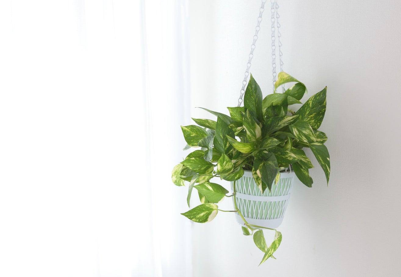 Wie Bogenhanf braucht die Efeutute nicht sehr viel Licht! Sie ist toll für Hängeampeln und du braucht sie nicht zurückschneiden — aber sie wächst und wächst und wächst ...Pfelge: Sparsam gießen. Also nur, wenn die Blätter runterhängen und die Erde ausgetrocknet ist. Wenn die Erde zu feucht bleibt, können die Wurzeln faulen. Wenn du merkst, dass die Blätter auch nach dem Gießen noch sehr traurig aussehen, solltest du die Pflanze wahrscheinlich umtopfen, weil die Wurzeln zu viel Platz eingenommen haben.