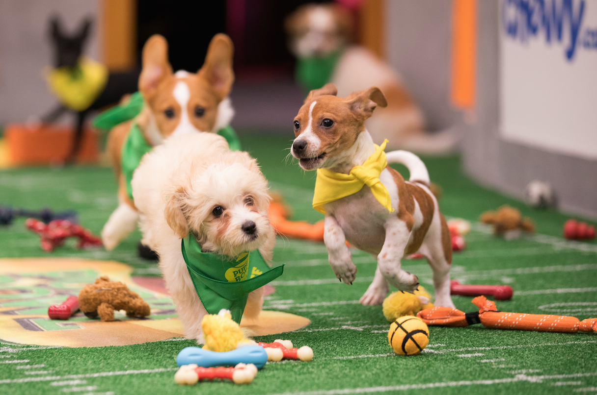 sub buzz 29610 1517428277 5?downsize=715 *&output format=auto&output quality=auto i attended this year's puppy bowl here's everything i learned about it