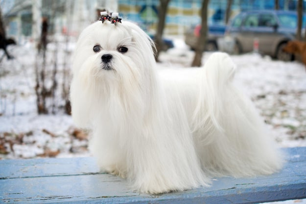 At first, I thought it was maybe an elegant Maltese.