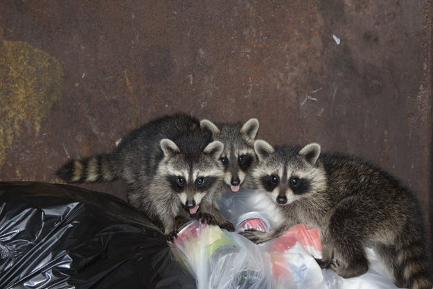 """This is what they ~want~ you to think when someone says """"raccoon."""""""