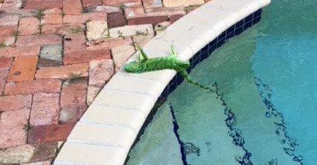 It's So Cold In Florida That Iguanas Are Freezing And Falling From Trees