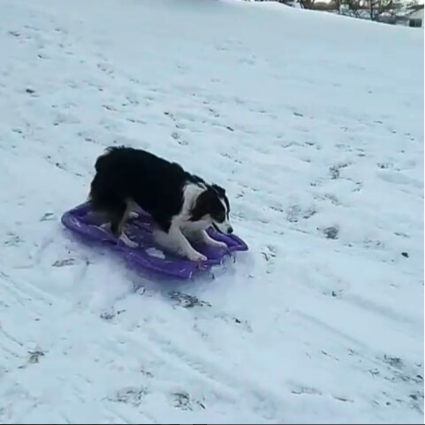 """I usually just break each trick down into simple pieces that Secret can learn one at a time,"" Mary said. ""For instance, with sledding, we first worked on her just hopping on (she would usually just hop right back out), and then I would reward her for staying in the sled longer."""