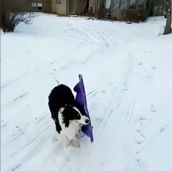 """Mary said she thought Secret was having fun while sledding, although she doesn't know if """"it is the same kind of fun people have."""" Instead, she thought Secret most enjoyed tugging the sled — as if it was a giant stick."""