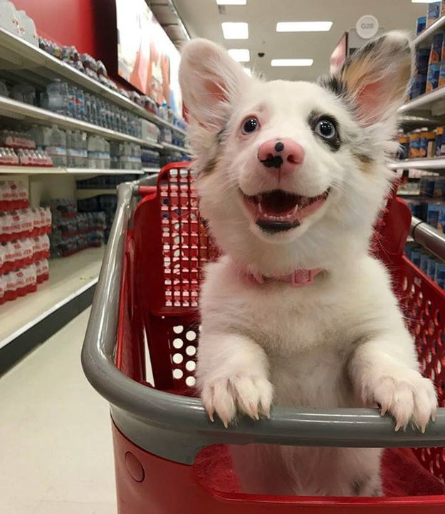 This cute little doggo is really enjoying some Target time.