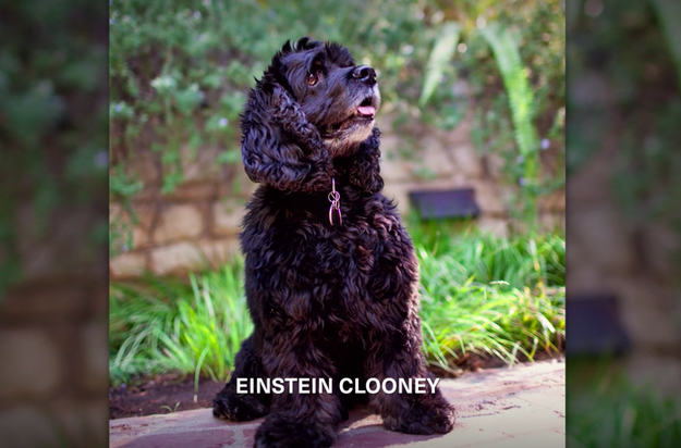 Even cuter than that is the fact that George used to write Amal emails from the perspective of his dog, Einstein.