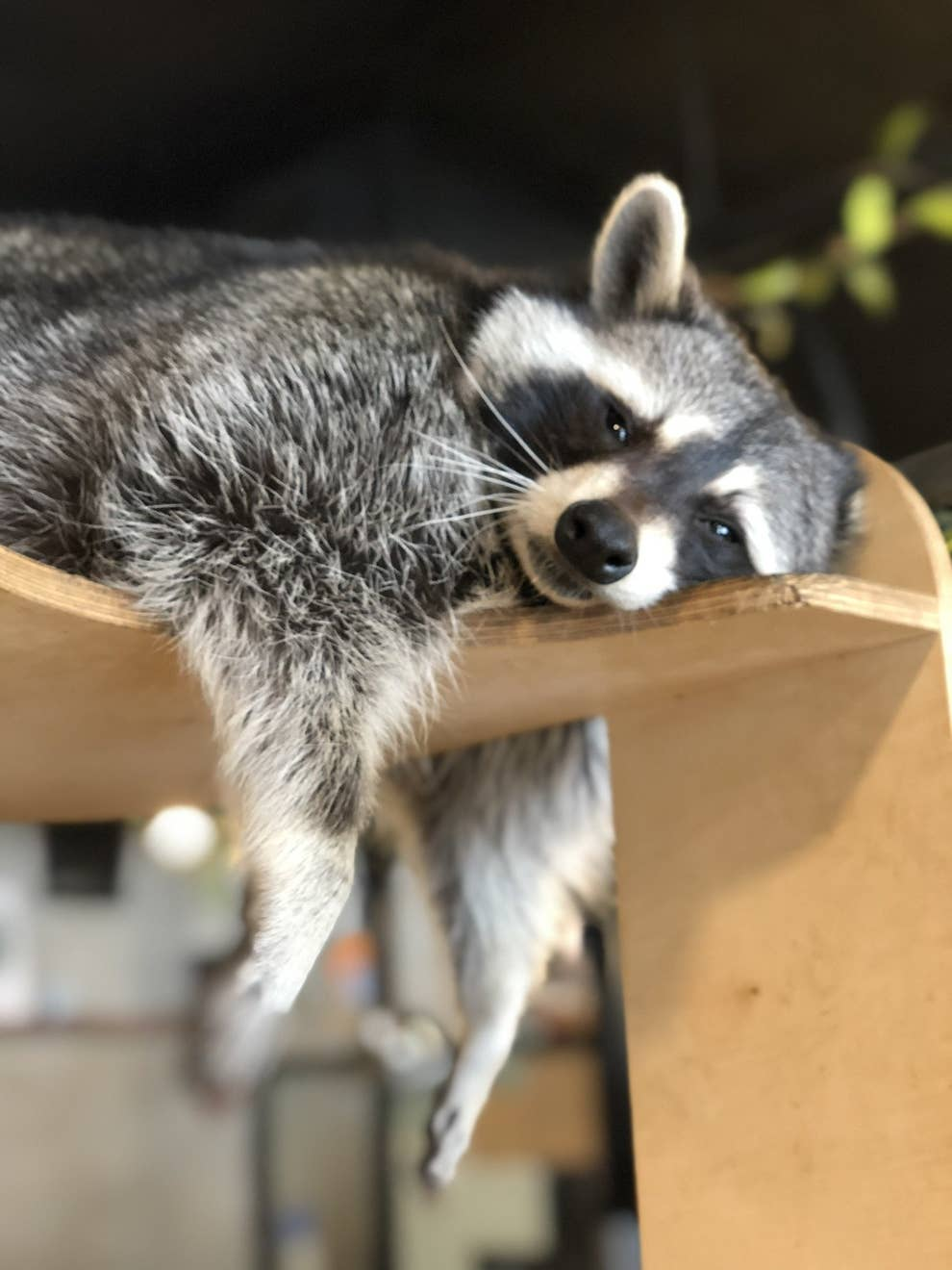 There's Literally A Raccoon Cafe In Seoul, Korea And It Will