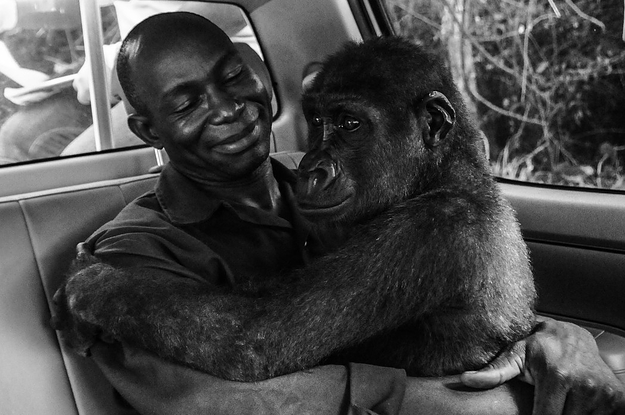 This Beautiful Image Of A Rescued Gorilla Hugging Her Caretaker Just Won Wildlife Photo Of The Year
