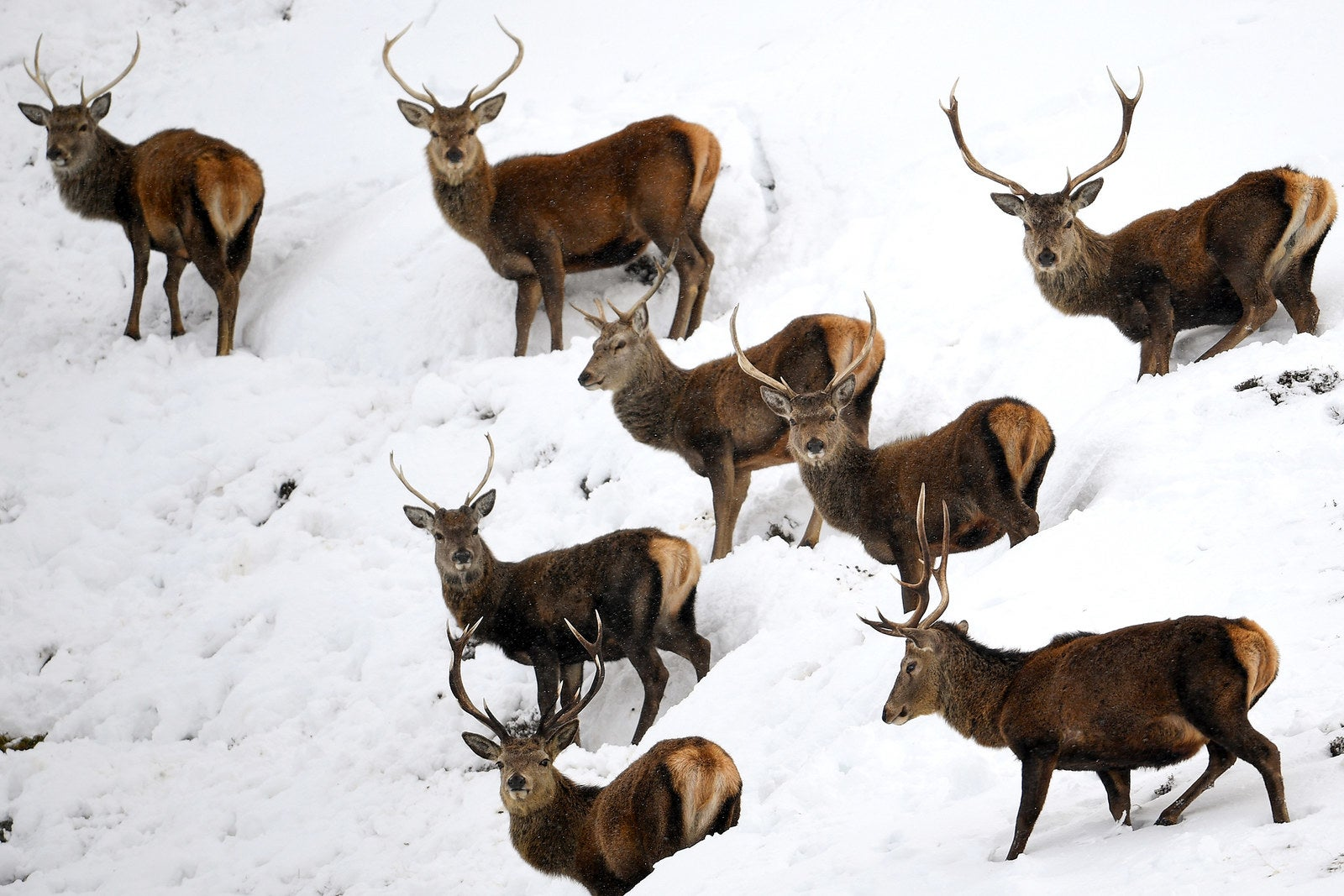 Deer graze in the snow in Braemar, Scotland, on Feb. 15. Police are warning of hazardous driving conditions across much of the Scottish Highlands.