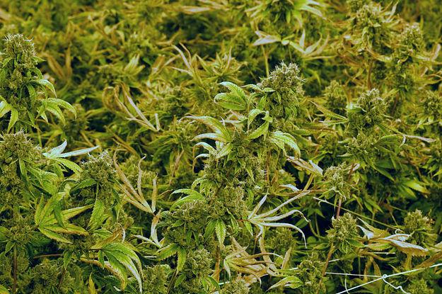 Cannabis Epilepsie
