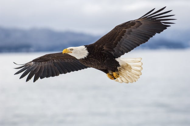An American bald eagle once flew all the way to Ireland, and he was so tired that he had to be returned via airplane.