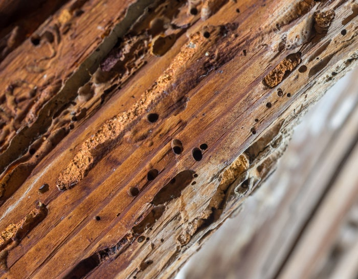 Termites are attracted to the vibrations from the harder sounds of rock music.