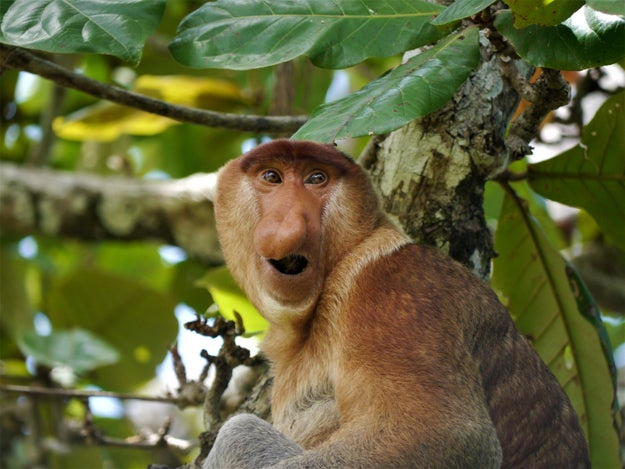 An 18-year study published this week in Science Advances appears to have finally solved the mystery — scientists have found a clear link between nose size and the number of female monkeys in a male proboscis monkey's harem.