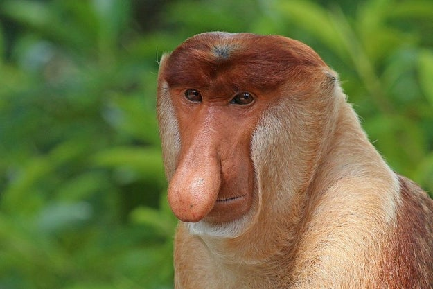 Meet the proboscis monkey, an endangered species native to the southeast Asian island of Borneo whose males have a pretty interesting-looking nose.