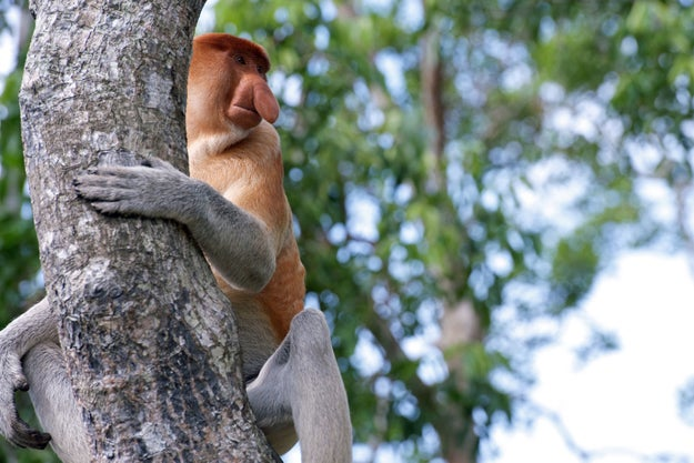 For years, scientists have wondered why male proboscis monkeys have such large and floppy noses.