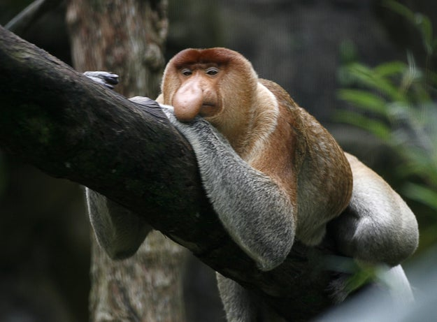 Researchers also found that male monkeys without females living in bachelor groups tended to have smaller noses than the dominant males with harems.