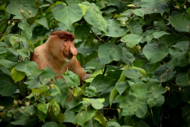 For proboscis monkeys at least, it seems size really does matter.