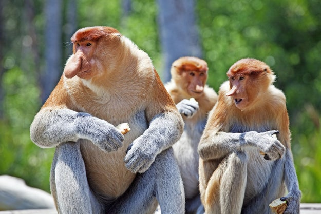 Male monkeys with big noses were also way more likely to have a pack of harem females than their small-snouted compatriots.