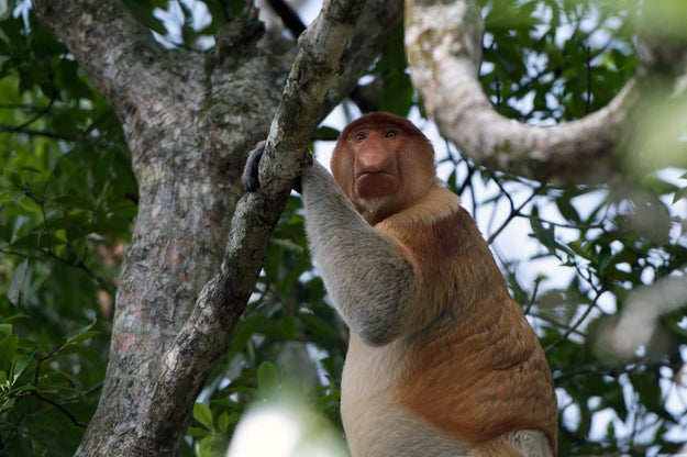 Nose size, they found, affects the way a proboscis monkey's mating call sounds, allowing female monkeys to seek out males with larger noses.