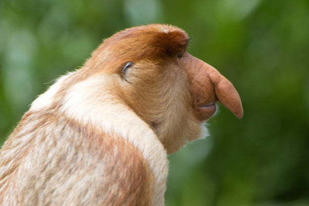 Researchers observed that a big-nosed proboscis monkey tended to be larger and bulkier overall and have larger testicles than a male monkey of the same species with a smaller nose.