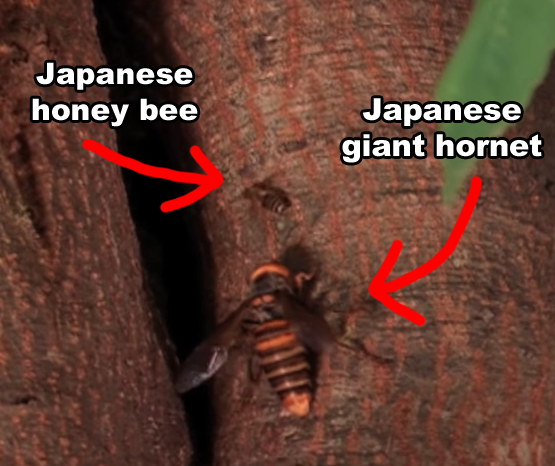 The Japanese giant hornet has venom that's so powerful, it can dissolve human tissue.