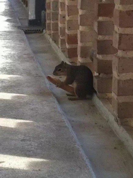 Technically, this squirrel has a piece of food, not an erection.