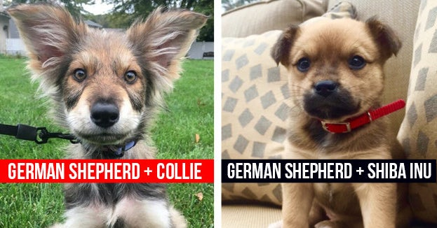 15 German Shepherd Mixes That Prove Mutts Are The Best