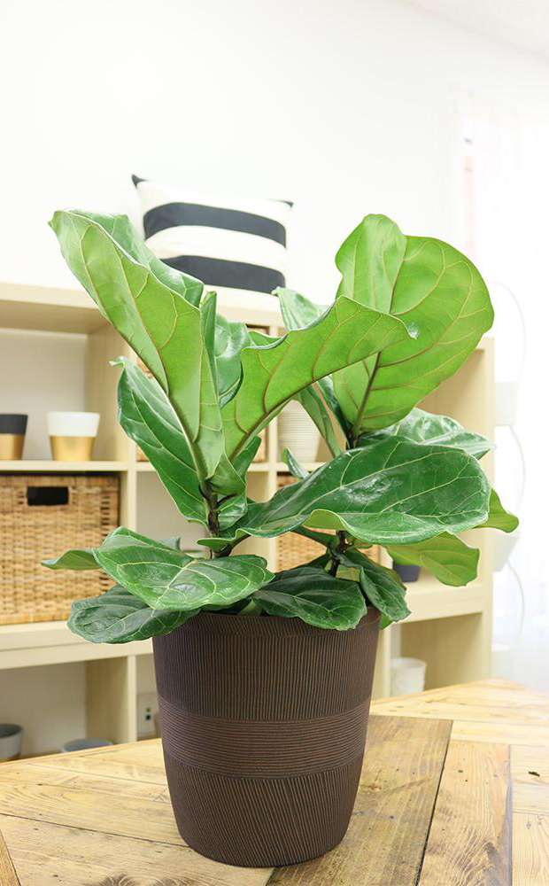 18 Of The Best Places To Buy Houseplants Online Zen At Home Depot Plants on plants at sam's club, plants at homegoods, plants that repel bugs and pests, plants inside home, plants at ikea, plants under evergreen trees, plants at office depot, plants at michaels, plants with white flowers, plants that repel mosquitoes, vines depot, plants at safeway, plants at disney, plants at kroger, plants at menards, plants at publix, plants at tj maxx, plants at harris teeter, plants at cvs, plants at kmart,