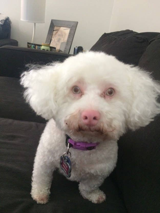 """This is Molly, my albino Bichon rescue. She is a very special girl who had a hard life before coming to my husband and me."" —addieb"