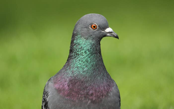 "The photo's original caption described this thing as a ""handsome pigeon"", but some people may not agree. Pigeons are sinister-looking creatures that go by the names gutter birds or flying ashtrays."