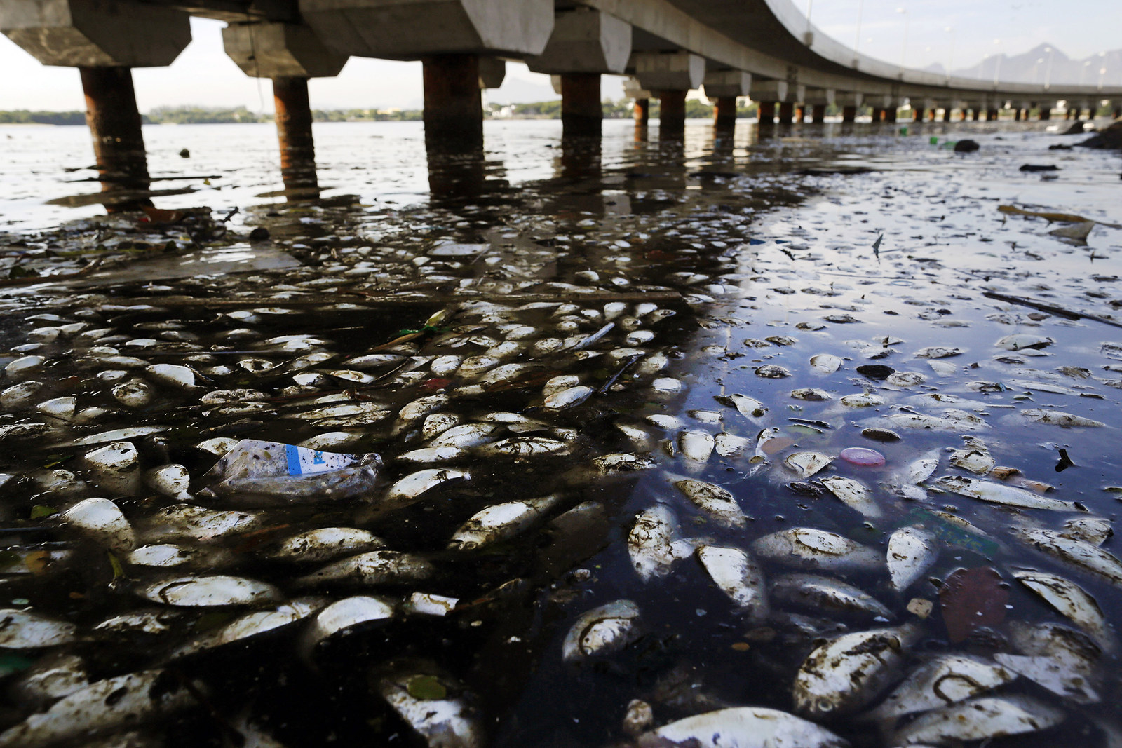 Dead fish and trash float in the polluted Guanabara Bay in Rio de Janeiro, Brazil, on Feb. 25, 2015.