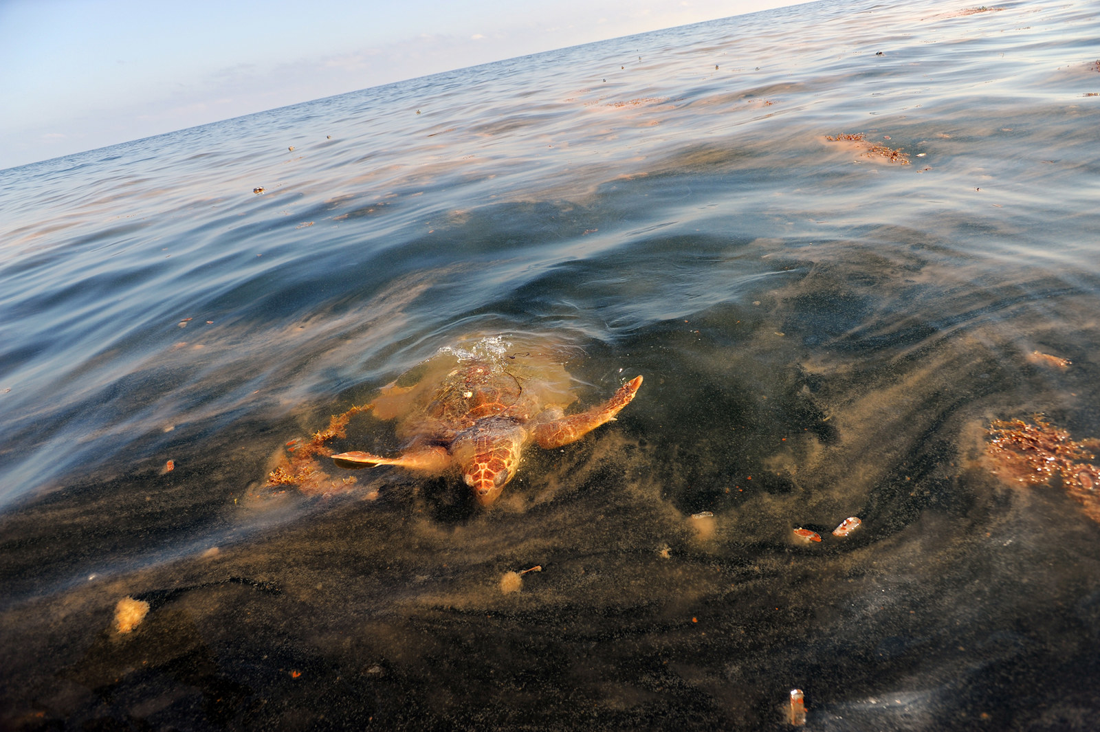 A sea turtle surfaces to feed on Portuguese man o' war that have been contaminated with oil due to the spill from the Deepwater Horizon rig in South Pass, Louisiana, on May 5, 2010.