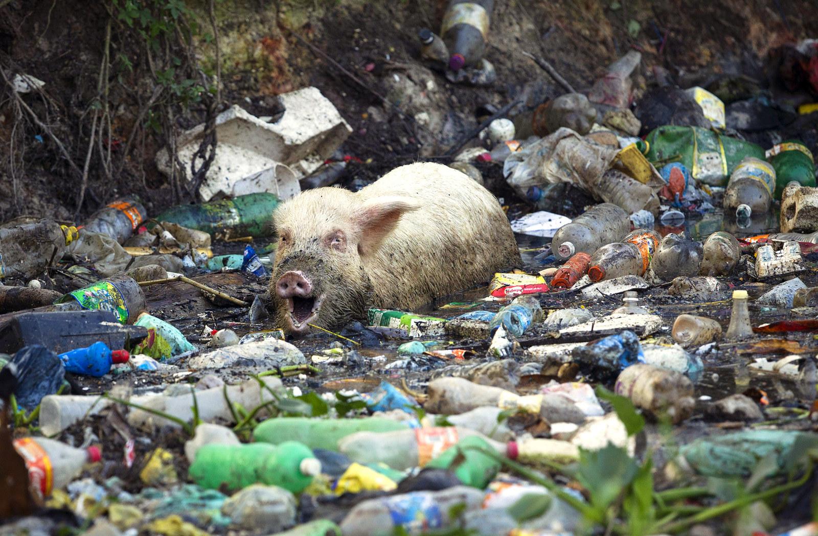 In this photo taken June 15, 2012, a pig eats from a trash-ridden creek in Rio de Janeiro, Brazil.