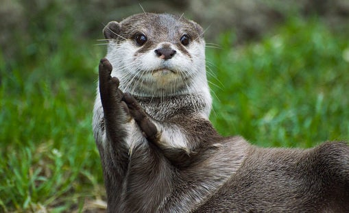 """An otter's poop is technically called """"spraint"""" and can smell like violets."""