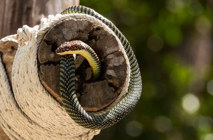 Flying tree snakes can soar as far as 330 feet.
