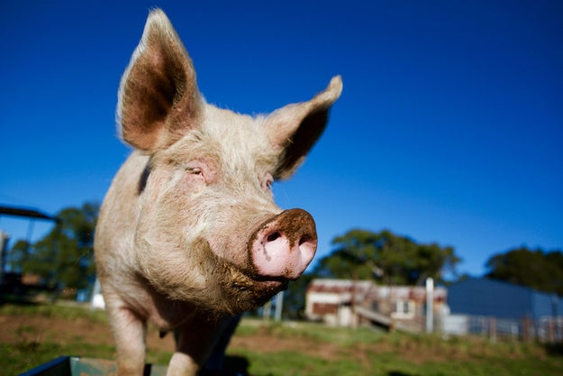 During mating, male pigs can ejaculate continuously for approximately six minutes.