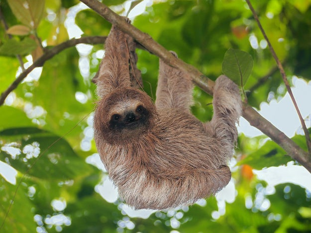 Sloths live the majority of their lives in trees. They come down to the ground only once a week to poop.