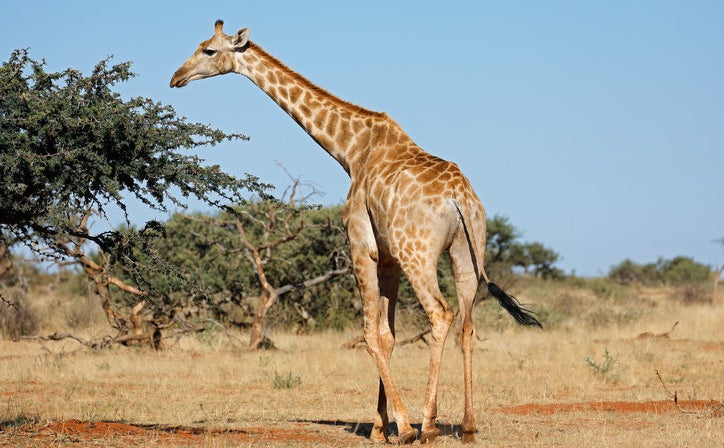 Male giraffes will smell and drink a female giraffe's urine to tell if she's ready to mate.