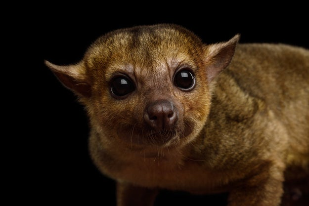 Kinkajous, which have the ability to rotate their feet, can run equally as fast forward and backward.