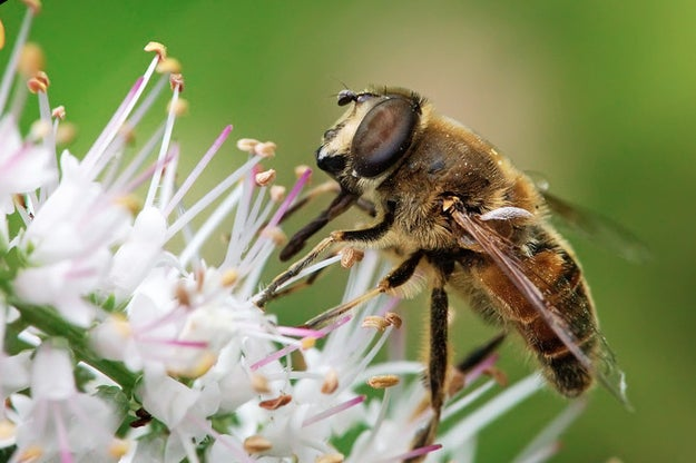 Drone bees die immediately after mating because their penis and abdomen are completely torn from their bodies during the process.