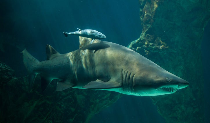 Unborn sand tiger sharks fight to the death and consume their siblings inside their mother's womb so that eventually only one baby shark is born.