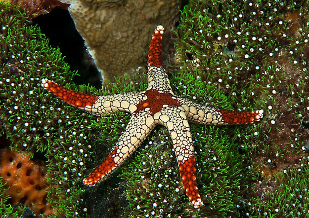 Starfish can regenerate arms that have been severed in an attack or have been voluntarily removed for protection.