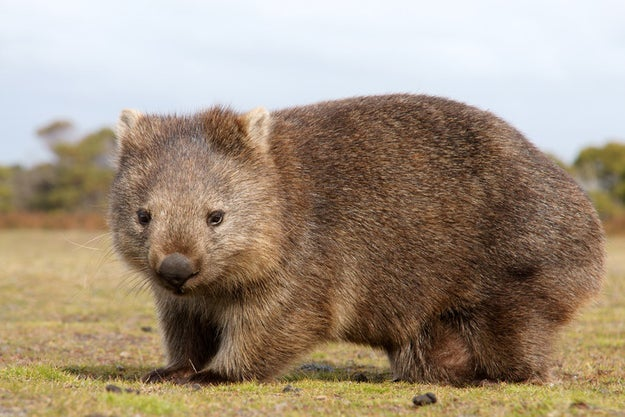 A wombat's poop is cube-shaped and their digestive process can take anywhere from 14 to 18 days.