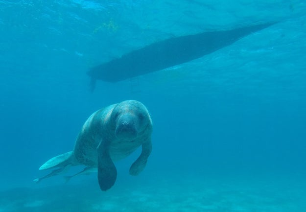 Manatees use flatulence to regulate their buoyancy by holding in farts to float and releasing farts to sink.