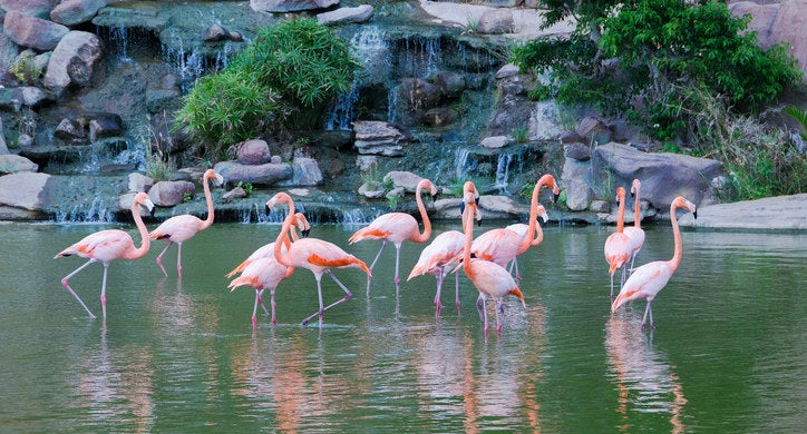 Flamingos aren't actually born pink. They turn pink from eating algae, larvae, and shrimp daily.