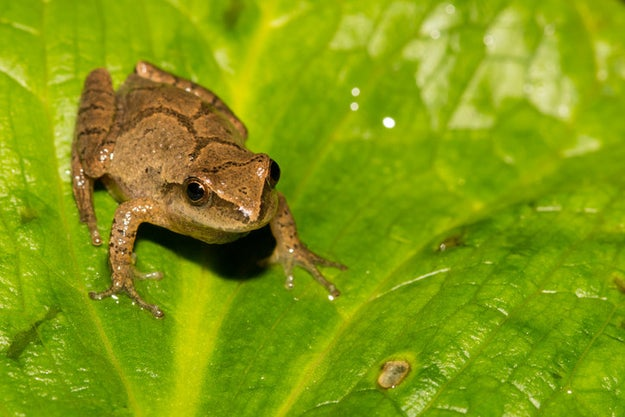 """Spring peepers have biological """"antifreeze"""" in their blood, making them very resilient in freezing temperatures."""