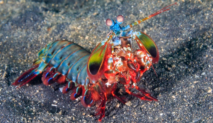 And finally, a peacock mantis shrimp can throw a punch that is equivalent to the speed of a .22 caliber bullet, despite being only several inches long.